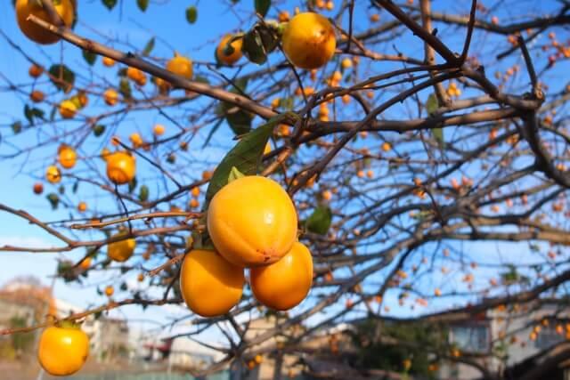 日本では庭木としても有名な「柿」